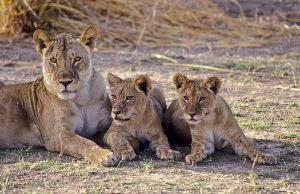 Safari Guide to Zimbabwe