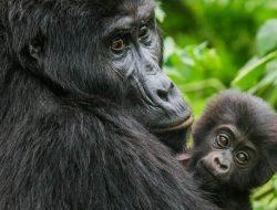 4-Day Rwanda Gorilla Safari